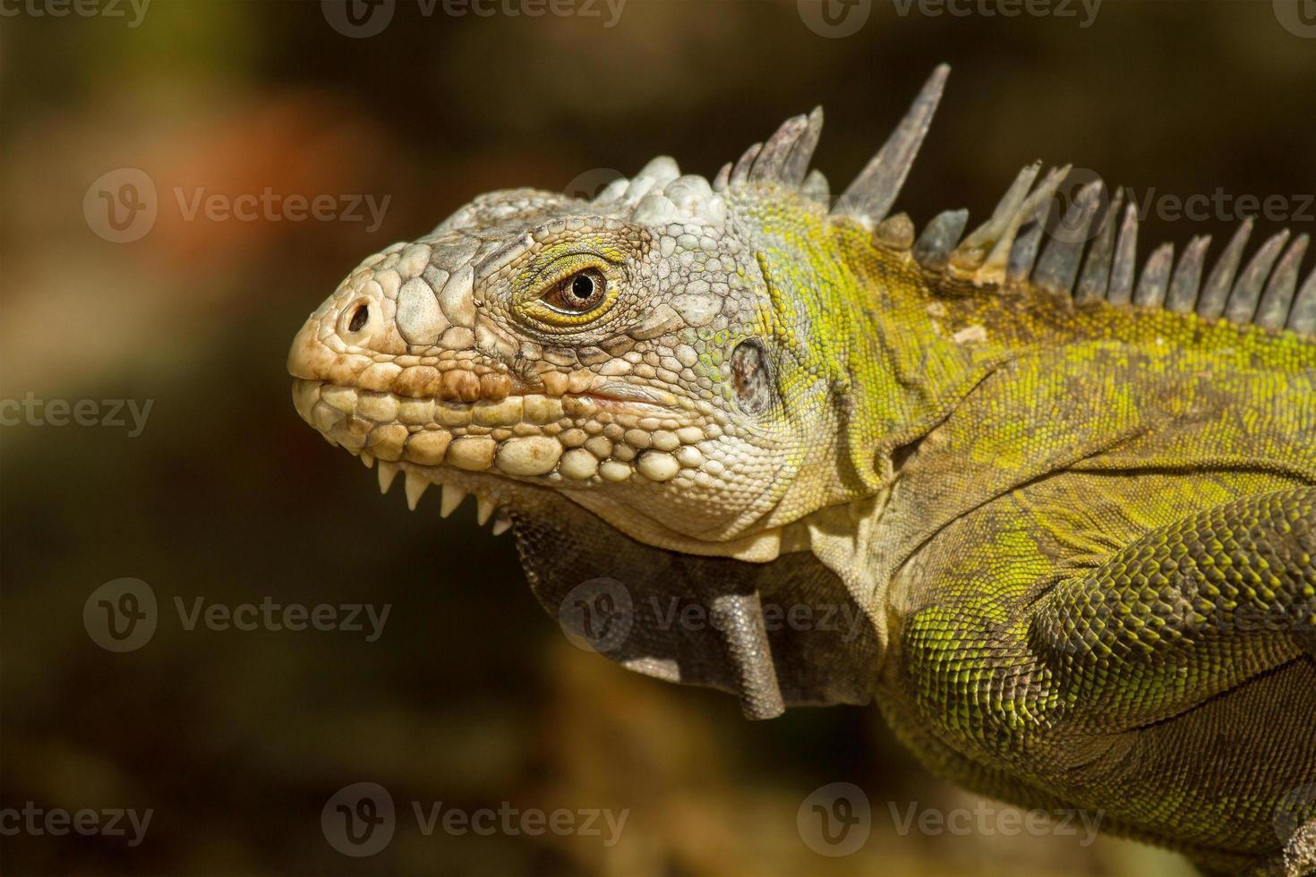 iguana antillea minore foto