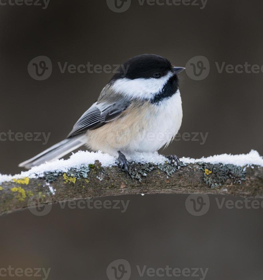 Chickadee con il cappuccio nero in inverno foto