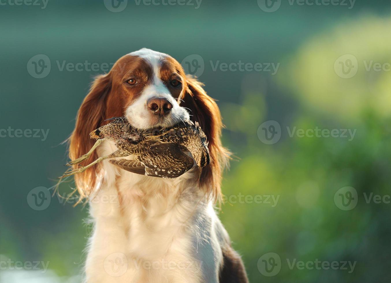 cane da caccia che tiene nei denti beccaccino foto