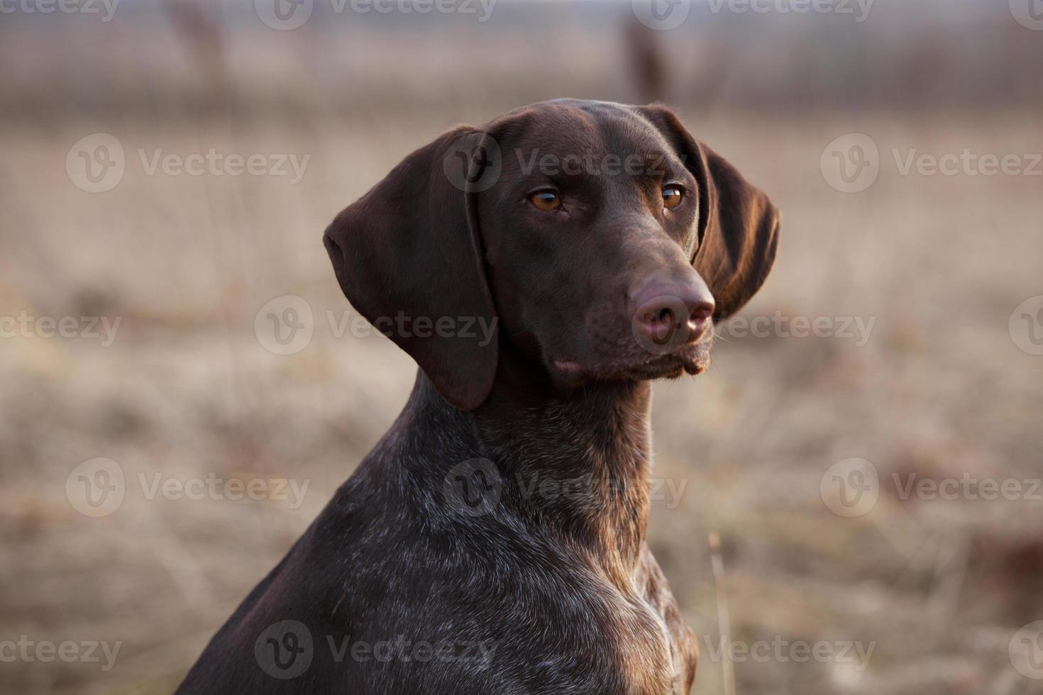 il cane da caccia si siede e guarda avanti foto