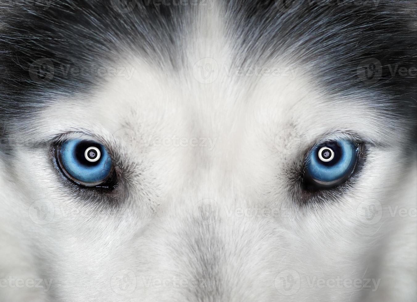 occhi blu husky foto