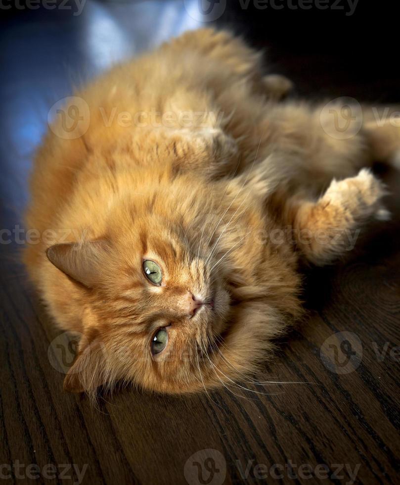 paffuto gatto zenzero sul pavimento foto