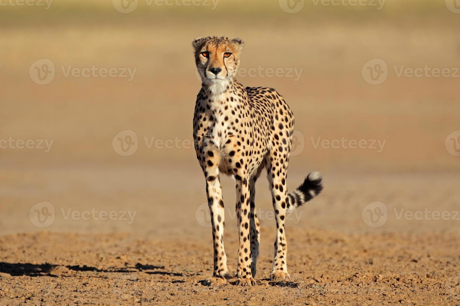 ghepardo in allerta foto
