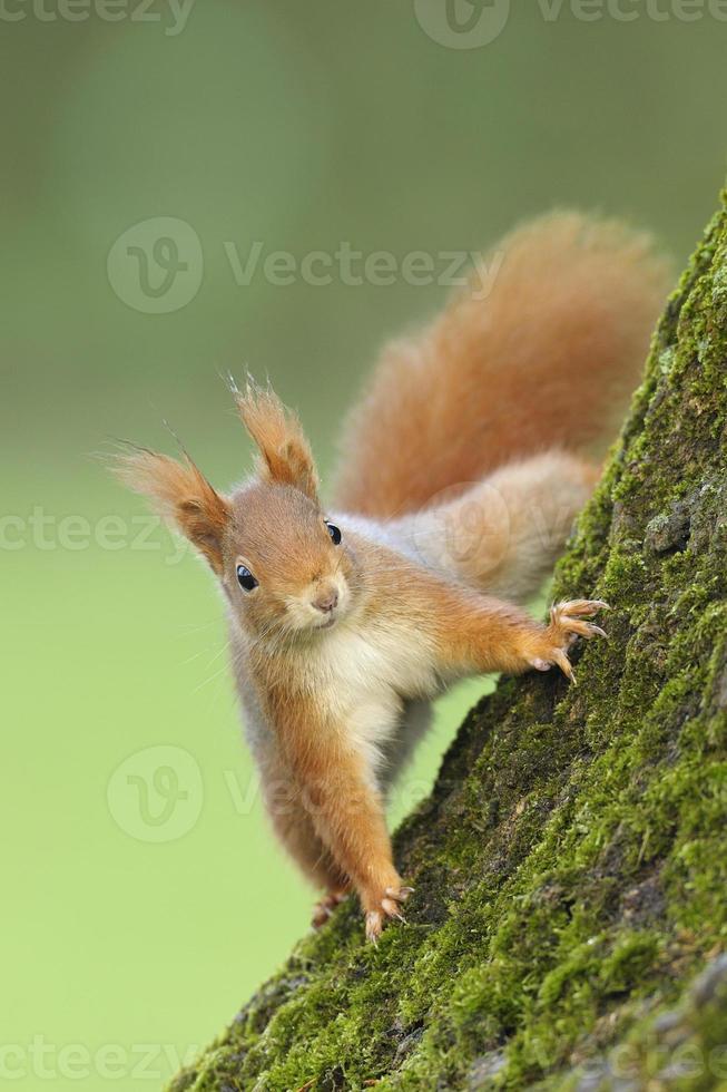 scoiattolo rosso sull'albero foto