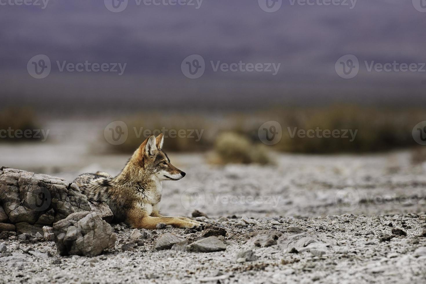 coyote della Death Valley a riposo foto