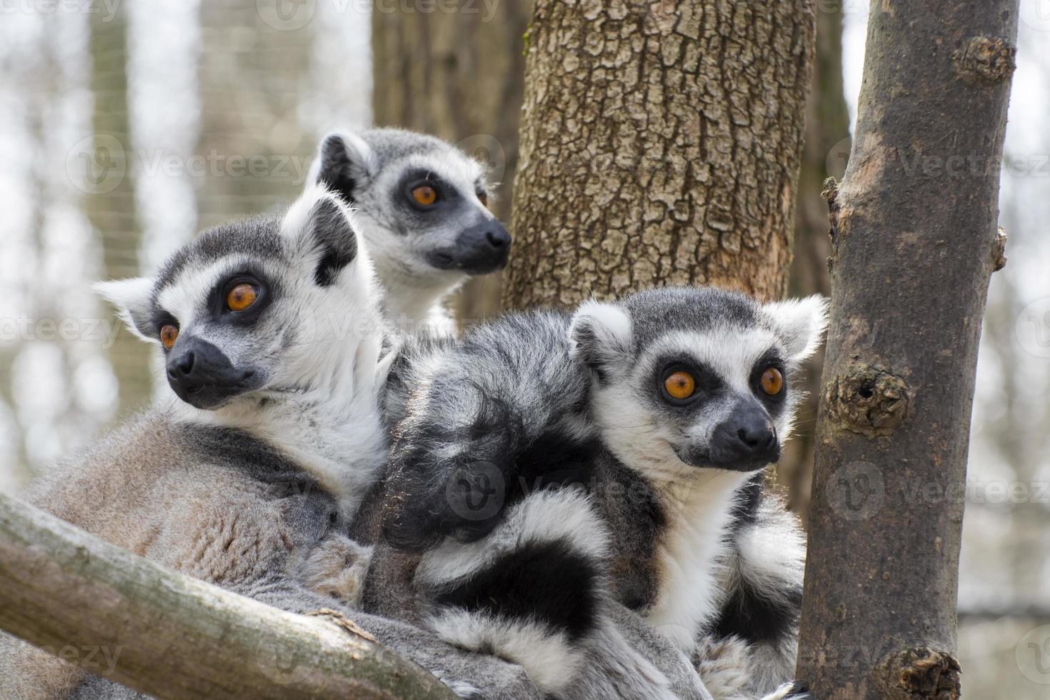 Lemure catta (lemure catta) foto