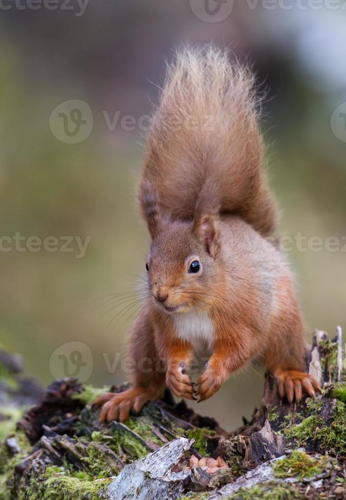 Close-up di scoiattolo rosso eurasiatico (sciurus vulgaris) foto