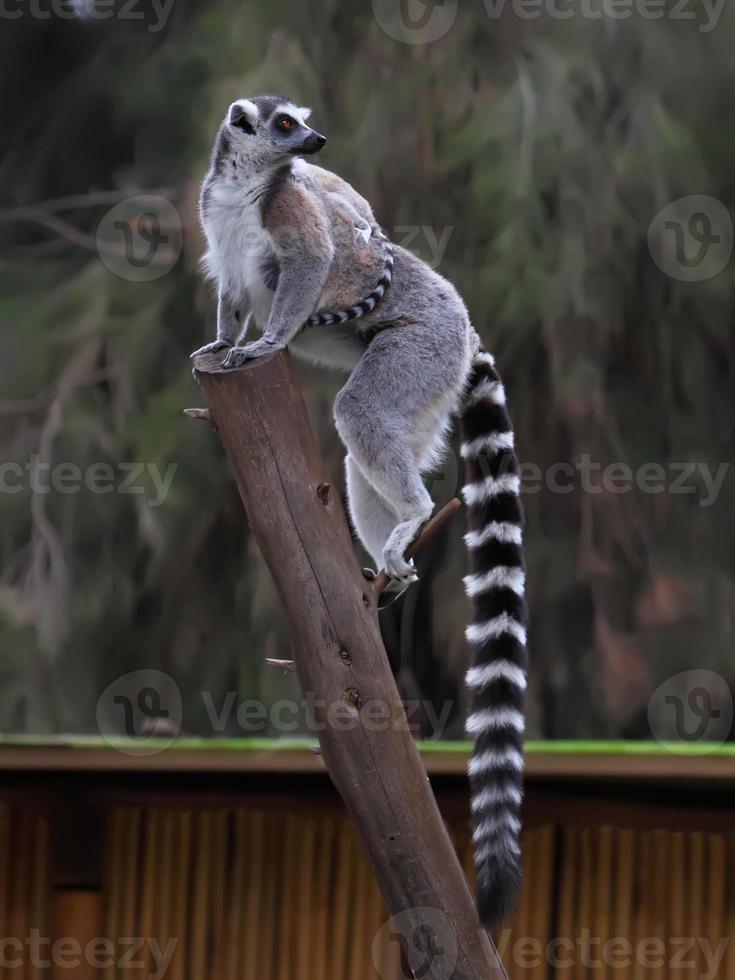 lemuri foto