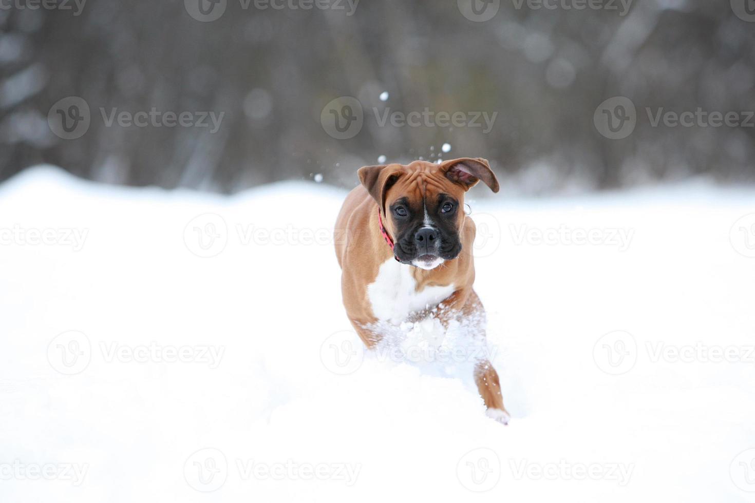 cucciolo di boxer giovane in esecuzione nella neve foto