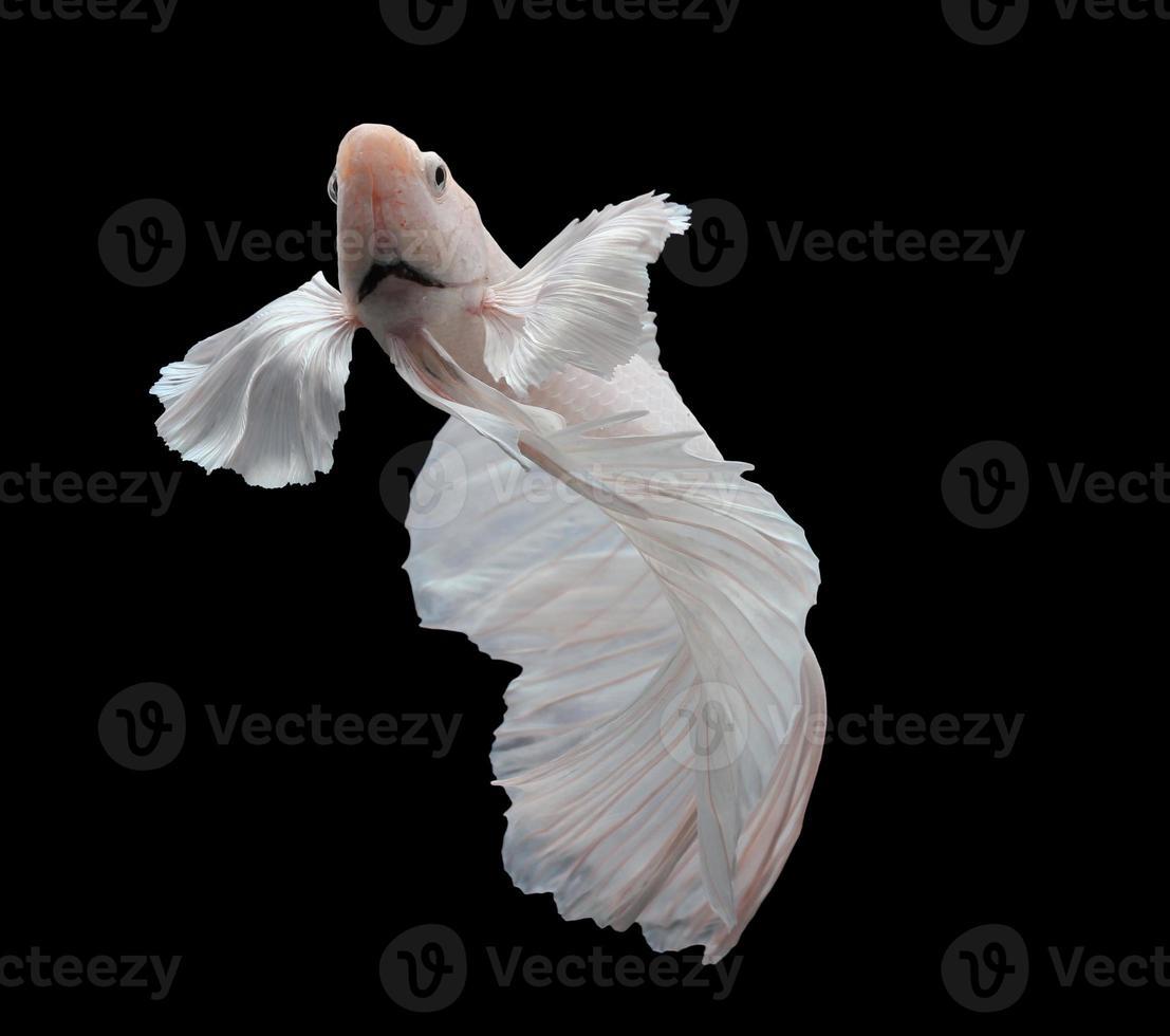 pesce combattente siamese, betta isolato su sfondo nero. foto