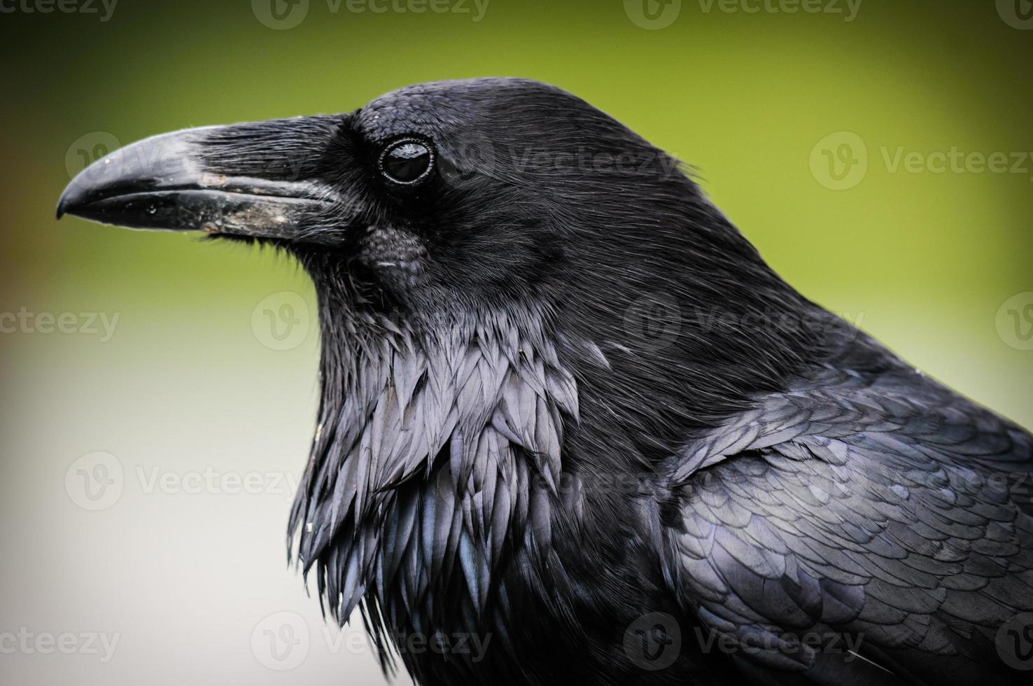 corvo comune (corvus corax) foto