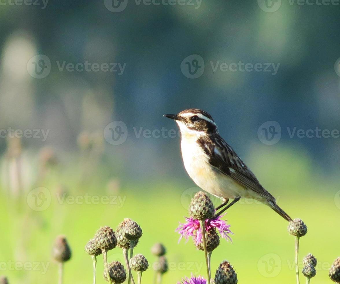 uccelli steepe foto