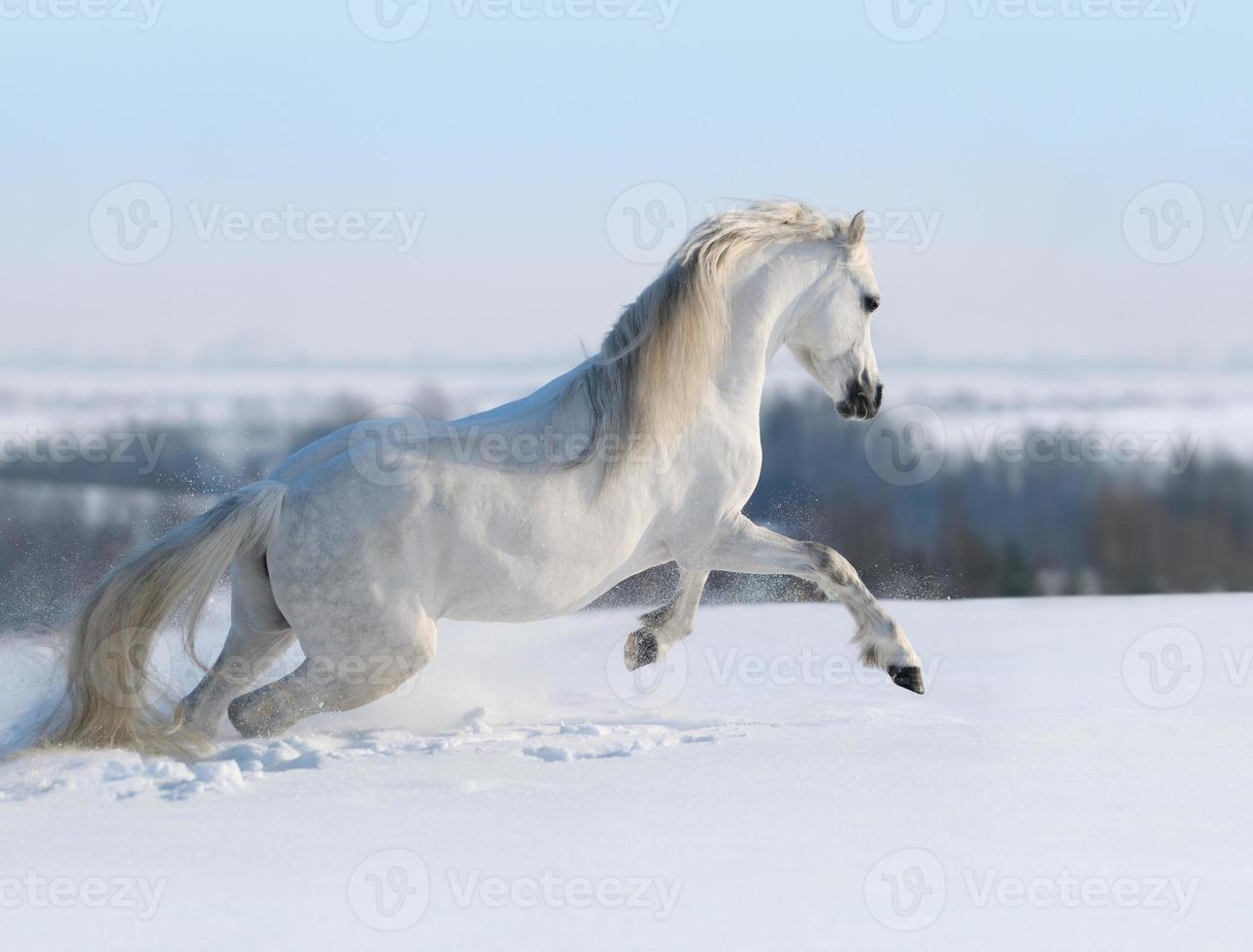 cavallo bianco al galoppo foto
