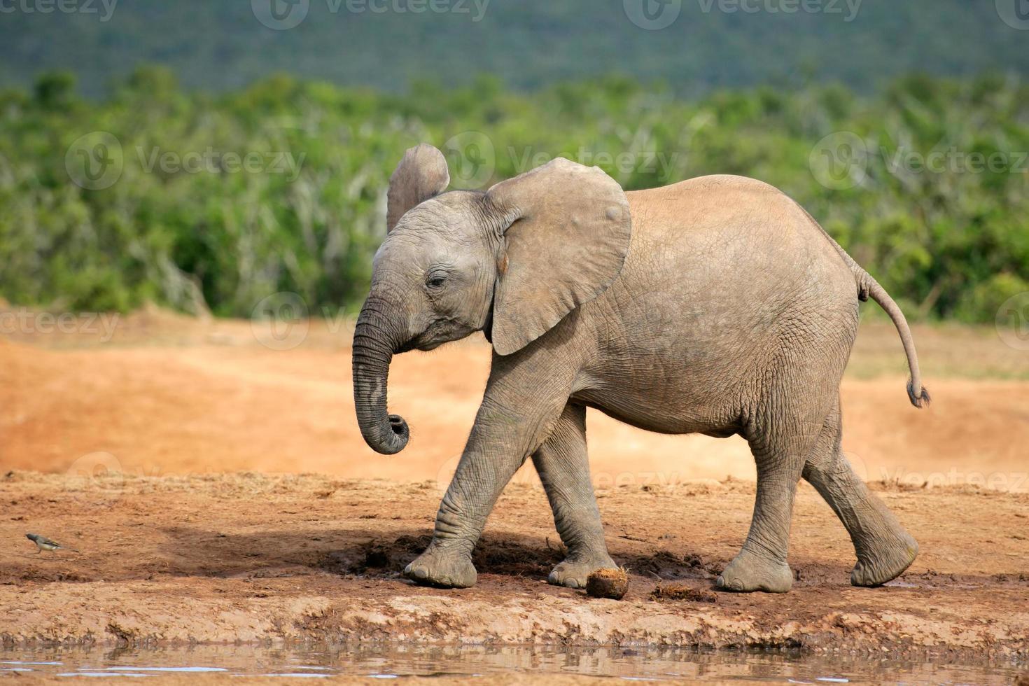 giovane elefante africano foto