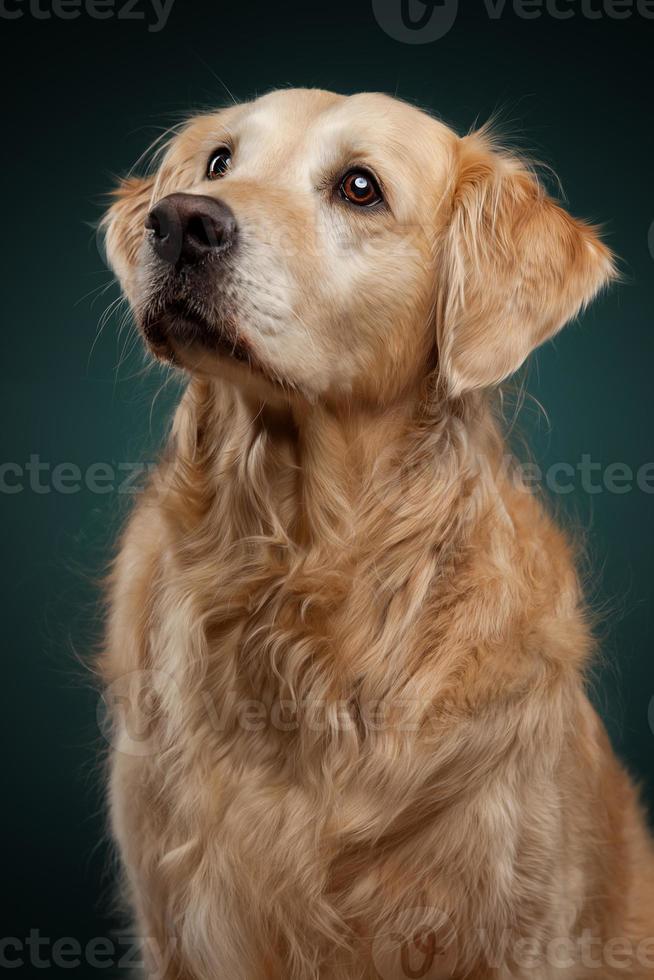 vista frontale del golden retriever, seduto e fissando. foto