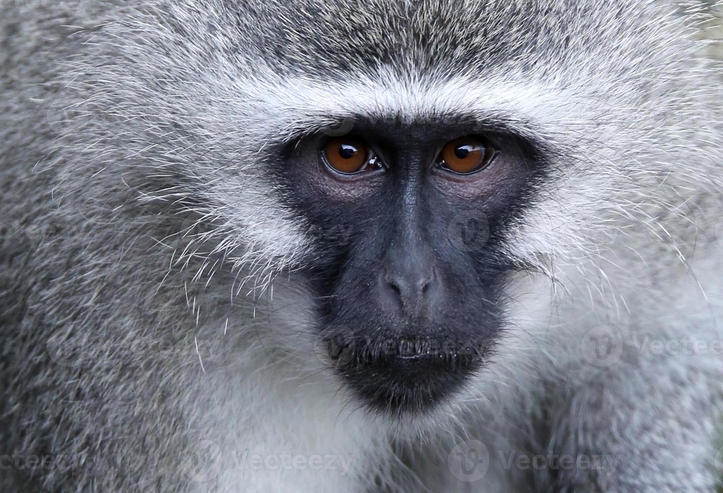ritratto di scimmia vervet foto