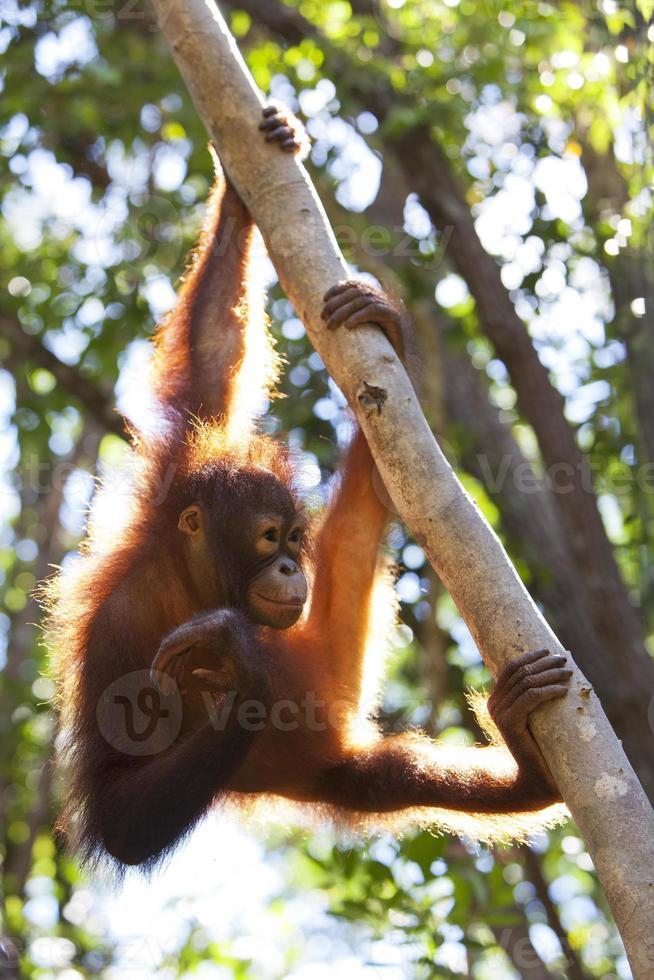 orangutan foto