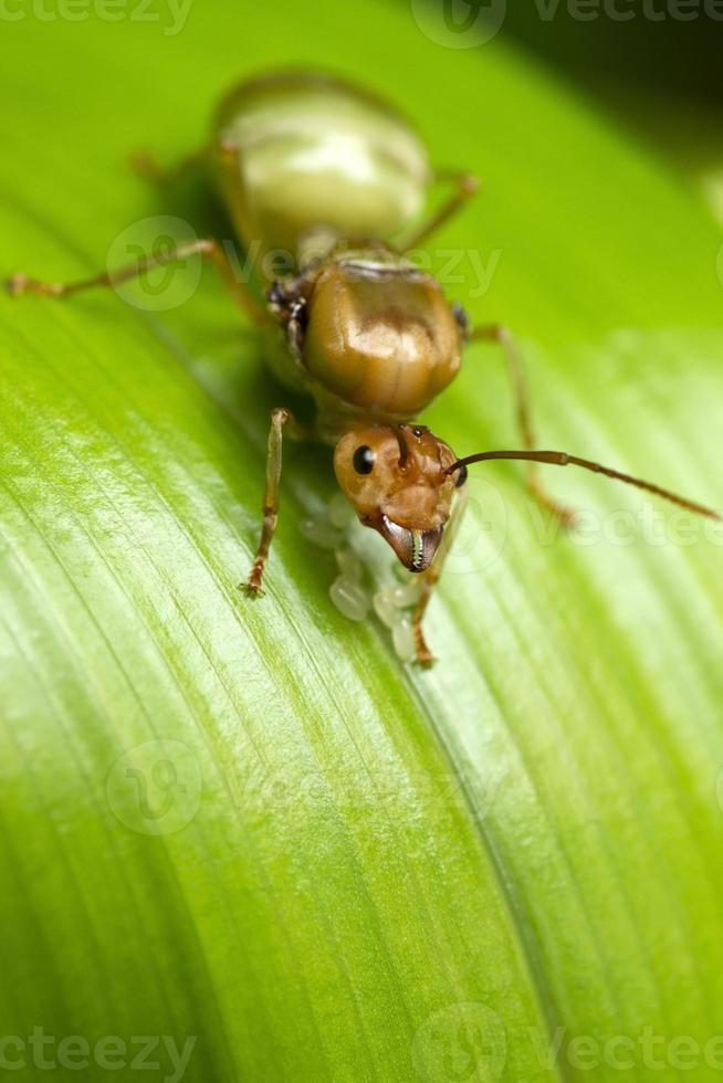 le formiche regine stanno proteggendo le uova. foto