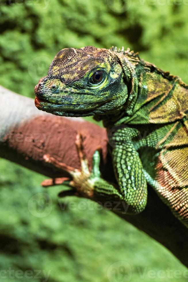 ritratto di iguana verde foto
