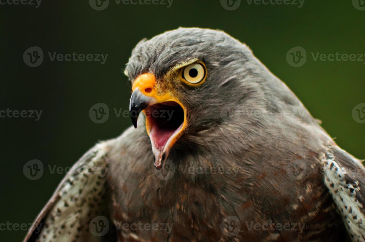 falco sul ciglio della strada foto