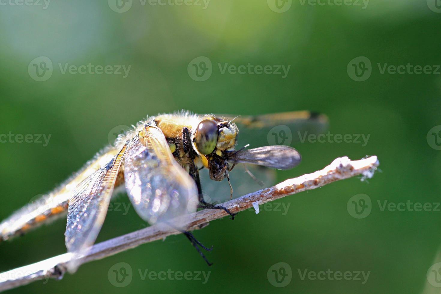 libellula che mangia una zanzara foto