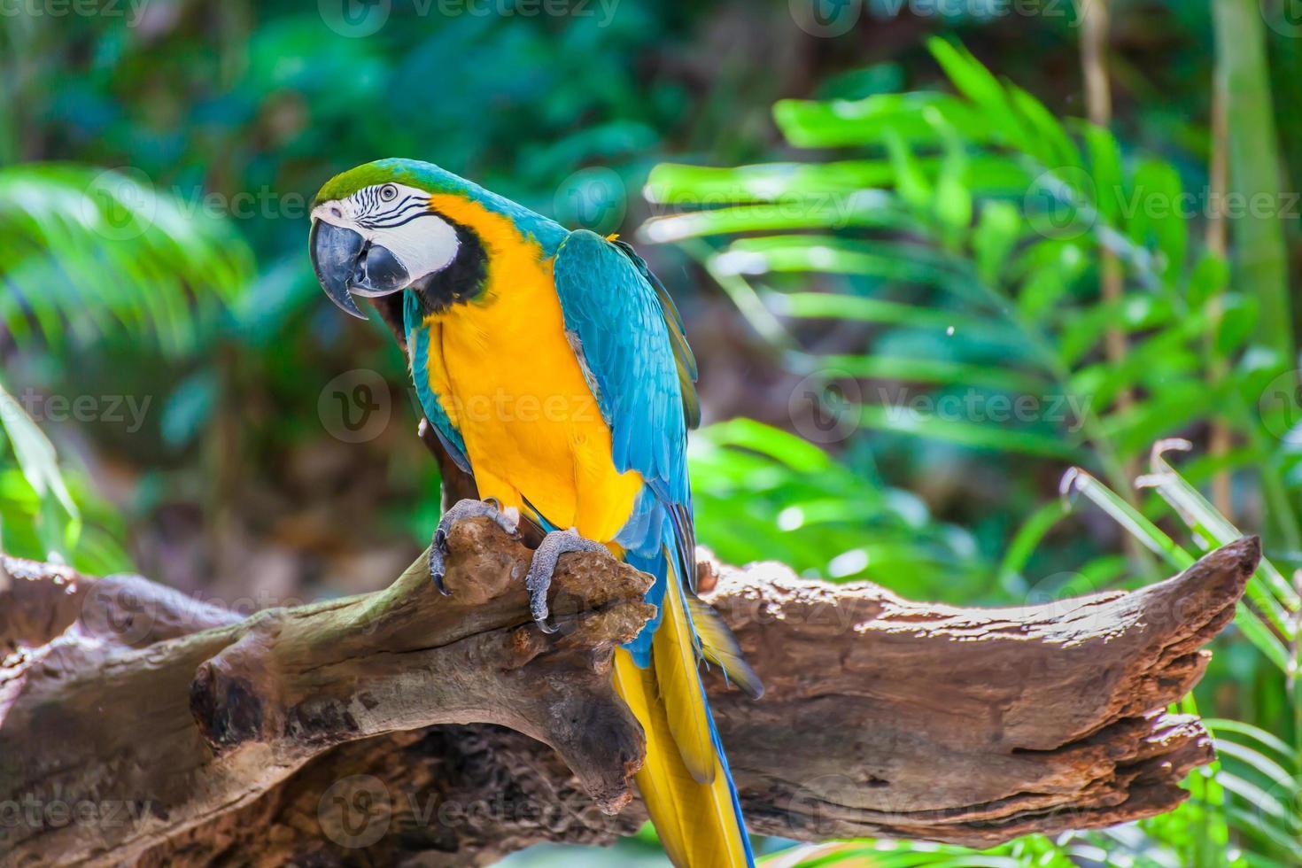 macaw colorato foto