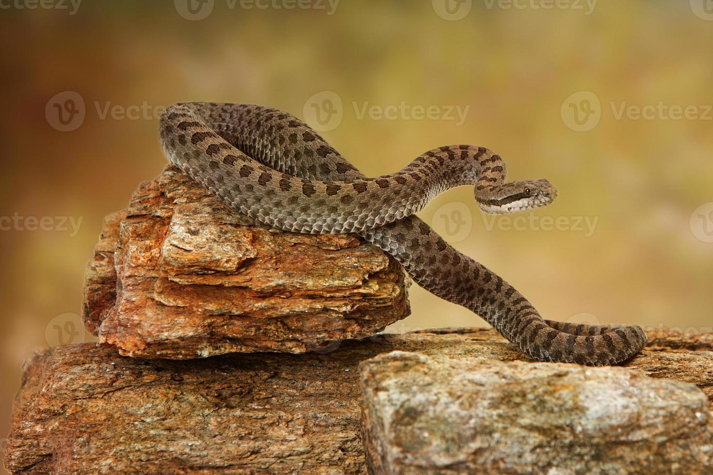 serpente a sonagli a gemelli sulla roccia foto