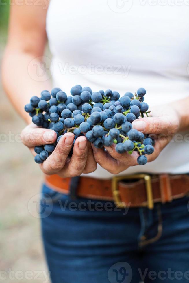 enologo con uva cabernet sauvignon foto
