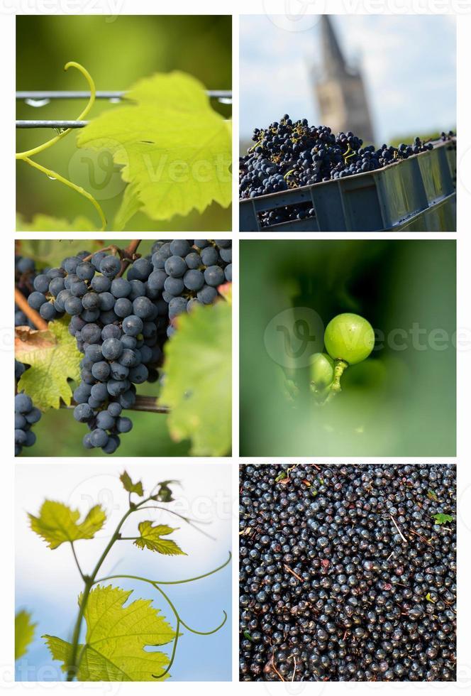 vigneto collage-uva-vite foto