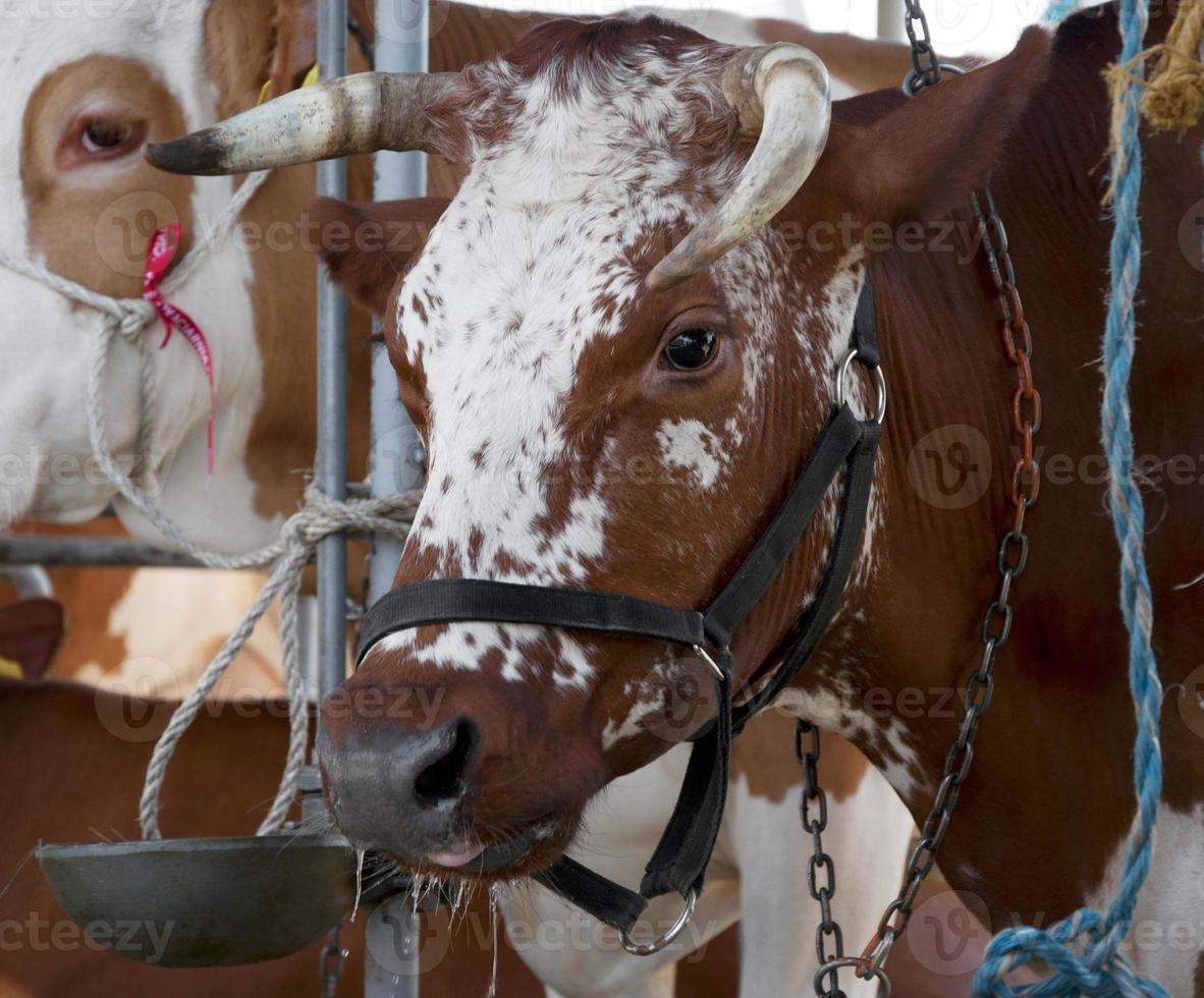 mangiare mucca foto