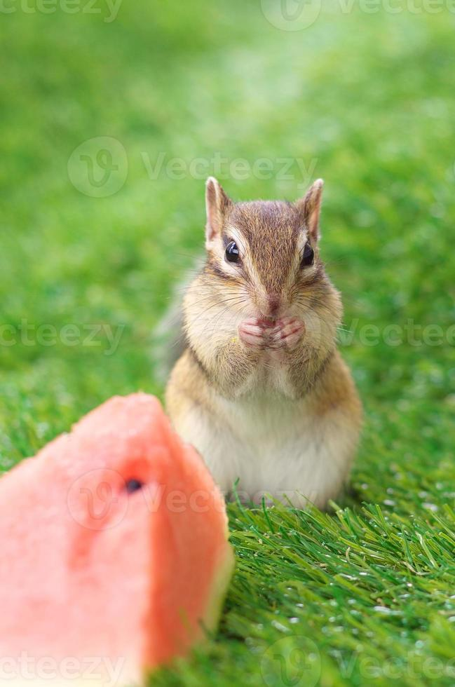 scoiattolo su erba verde foto