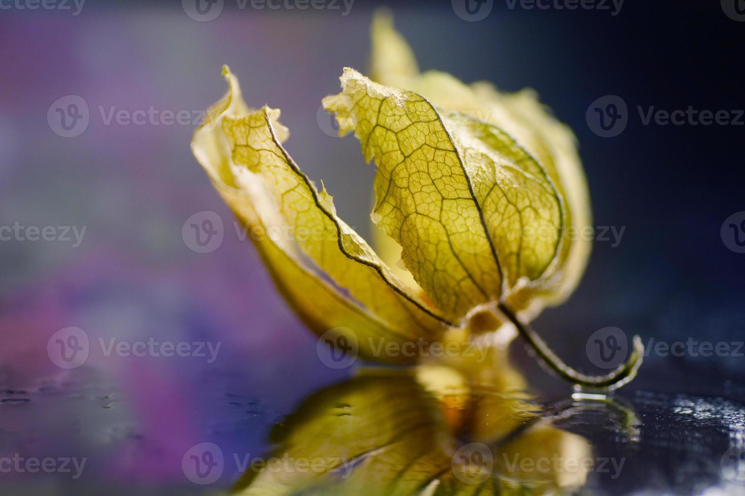 macro di physalis, ciliegia invernale, luce colorata bokeh foto