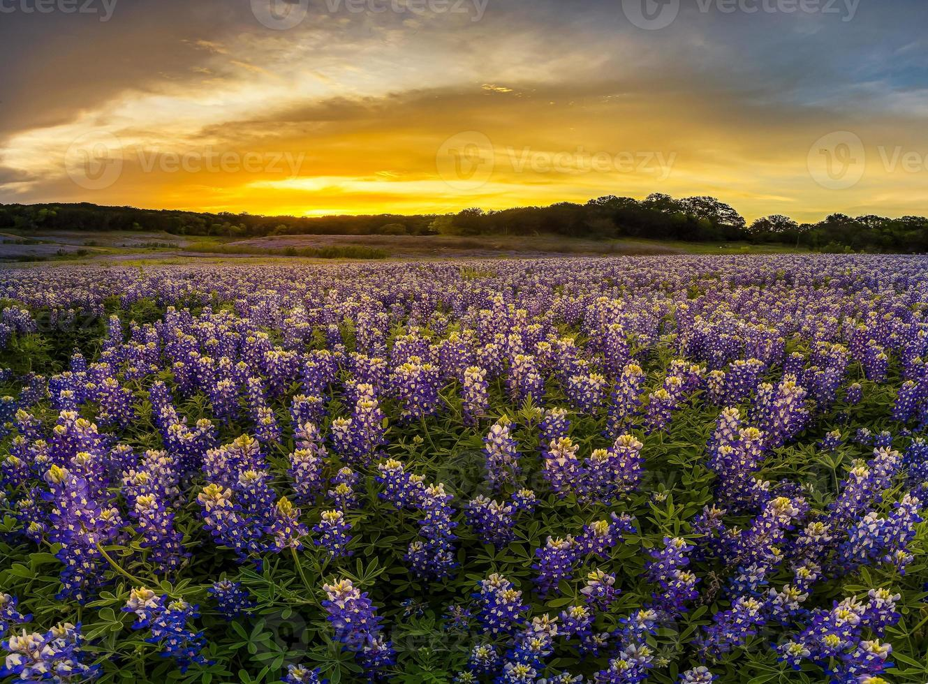 Texas bluebonnet field nel tramonto alla curva del muleshoe foto