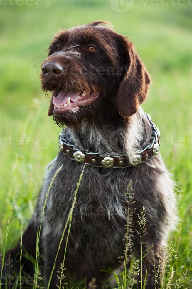 puntatore dai capelli corti razza cane da caccia è seduto foto