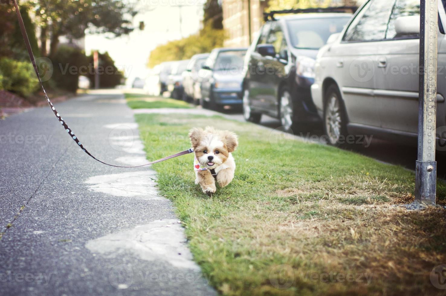 simpatico cucciolo di shih-tzu in esecuzione al guinzaglio foto