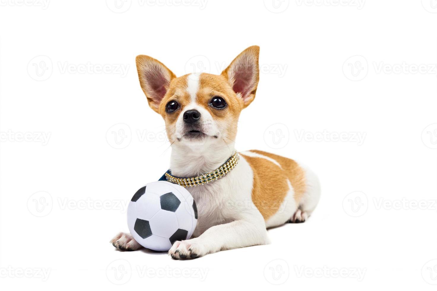 cane chiwawa foto
