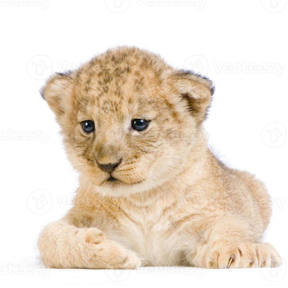 cucciolo di leone sdraiato foto