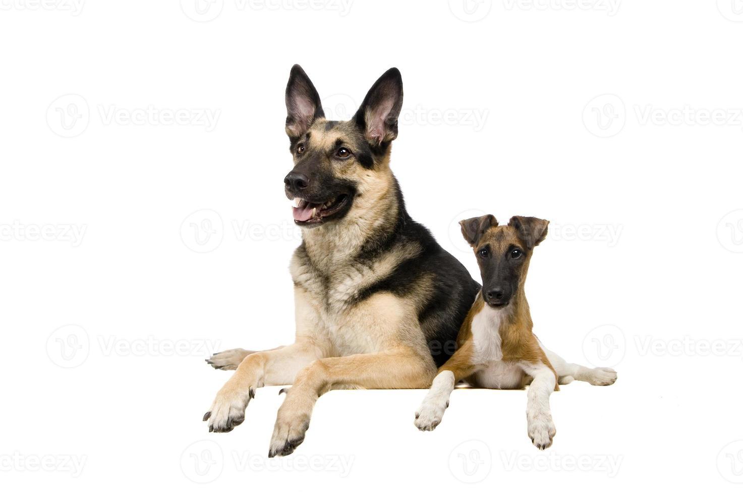 cane pastore dell'Europa orientale con fox terrier su bianco foto