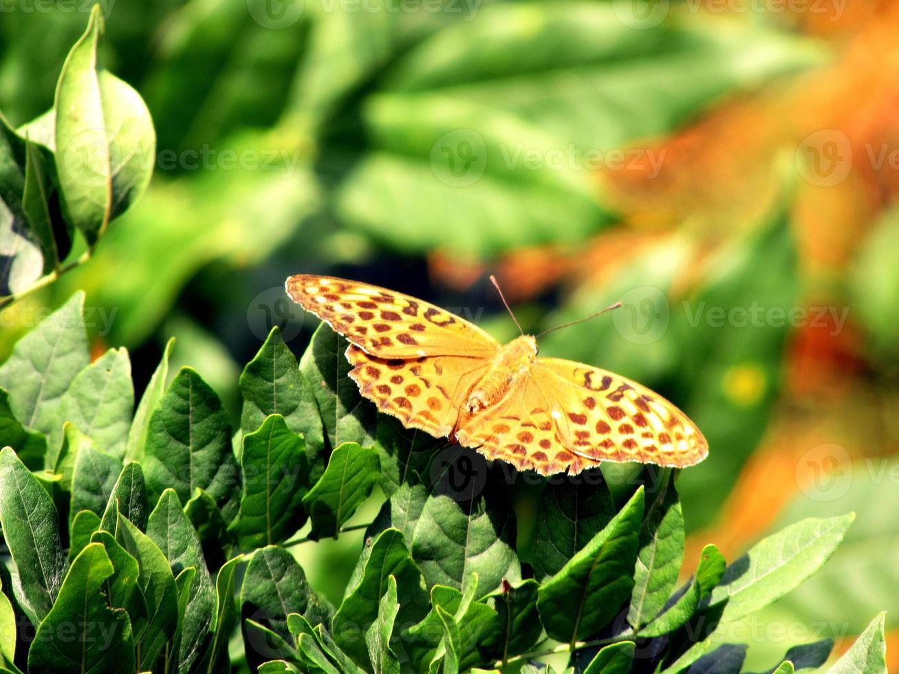 argynnis paphia argento lavato fritillary foto