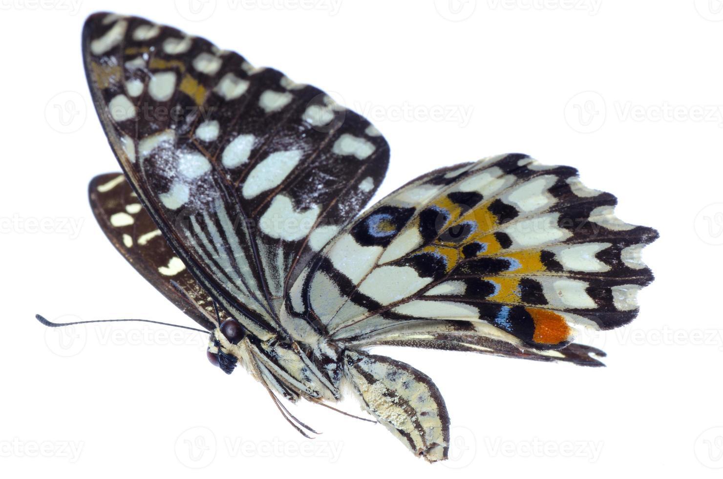 farfalla volante della coda di rondine dell'agrume volante foto
