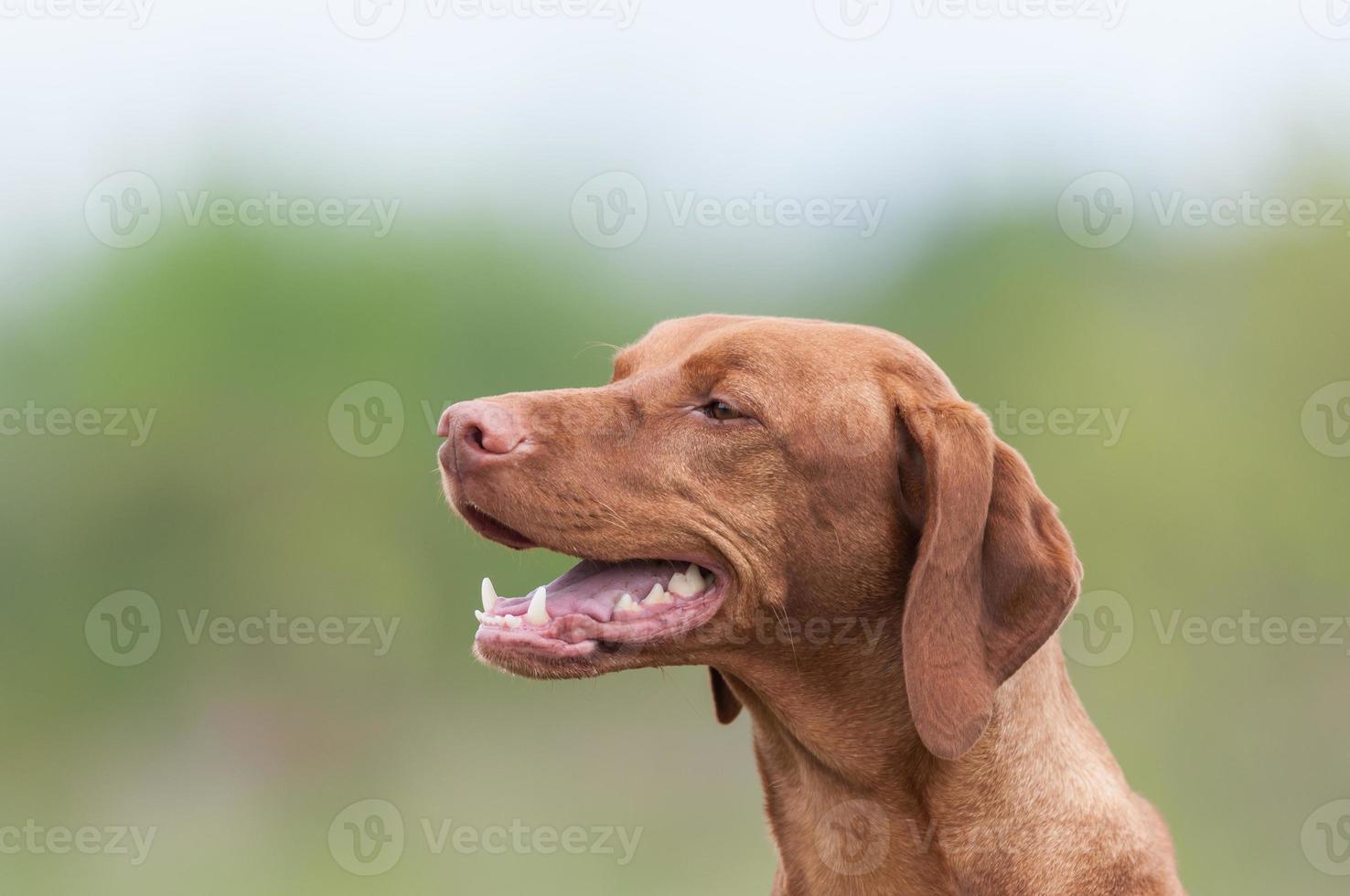 cane felice vizsla in un campo verde foto