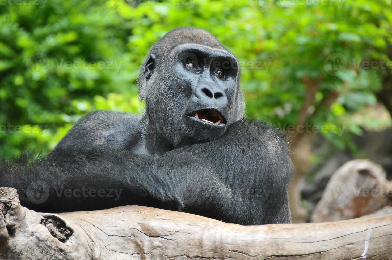 Gorilla nera che riposa su un palo di legno foto