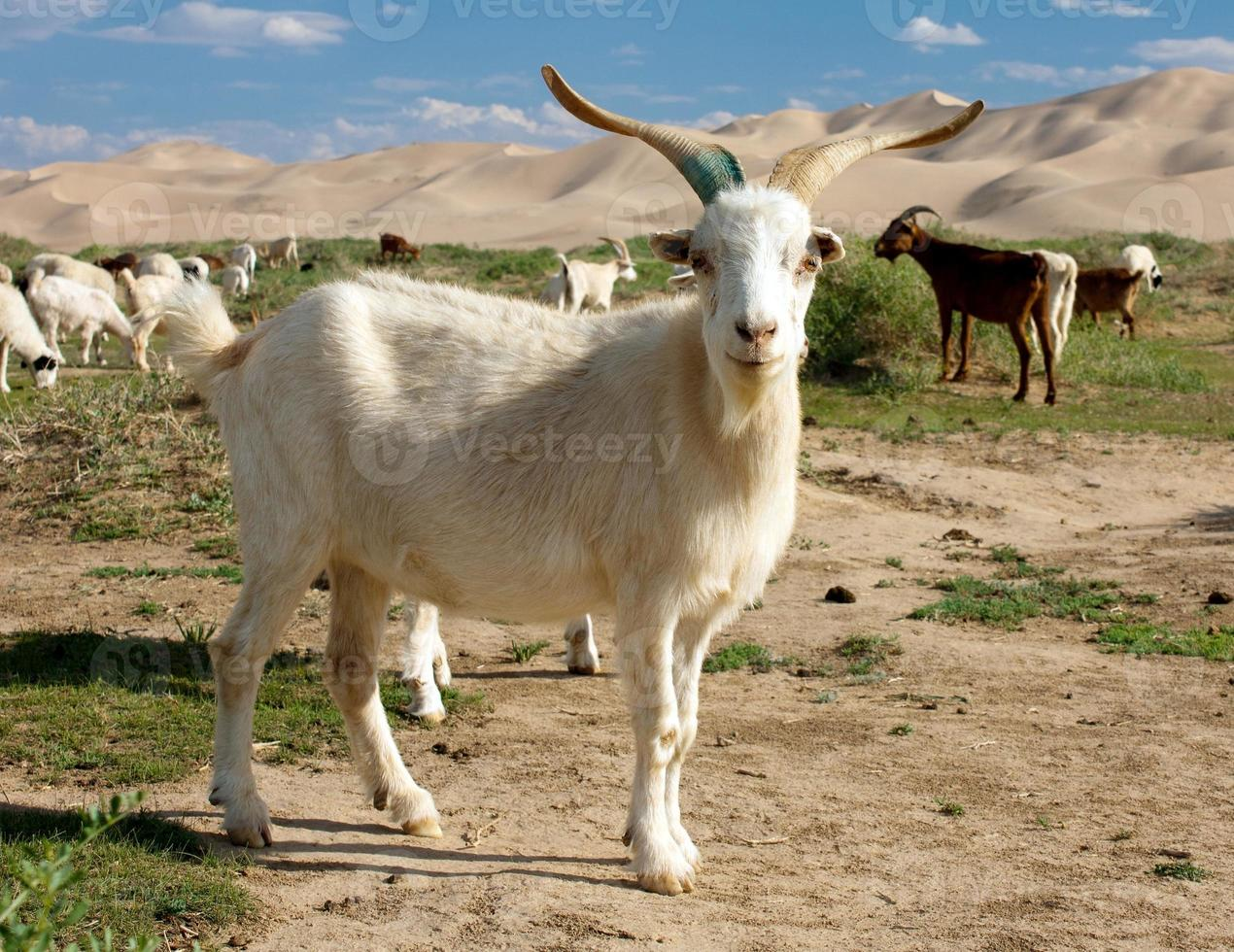 duna di capra deserto mongolia foto