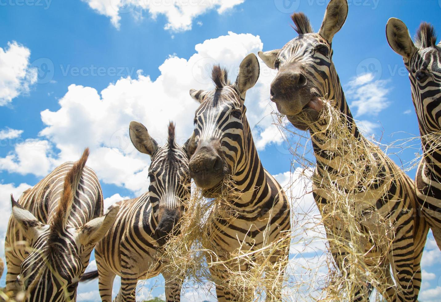 zebra che mangia erba foto