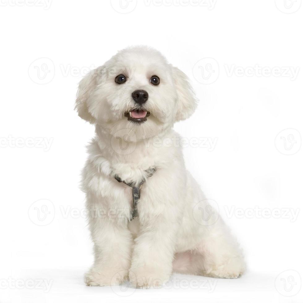 cane maltese foto