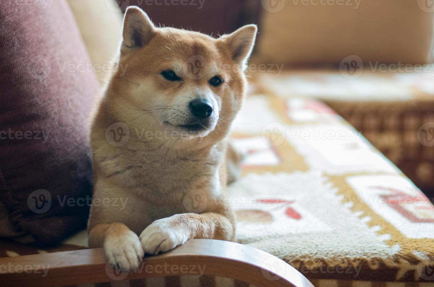 cane sul divano foto