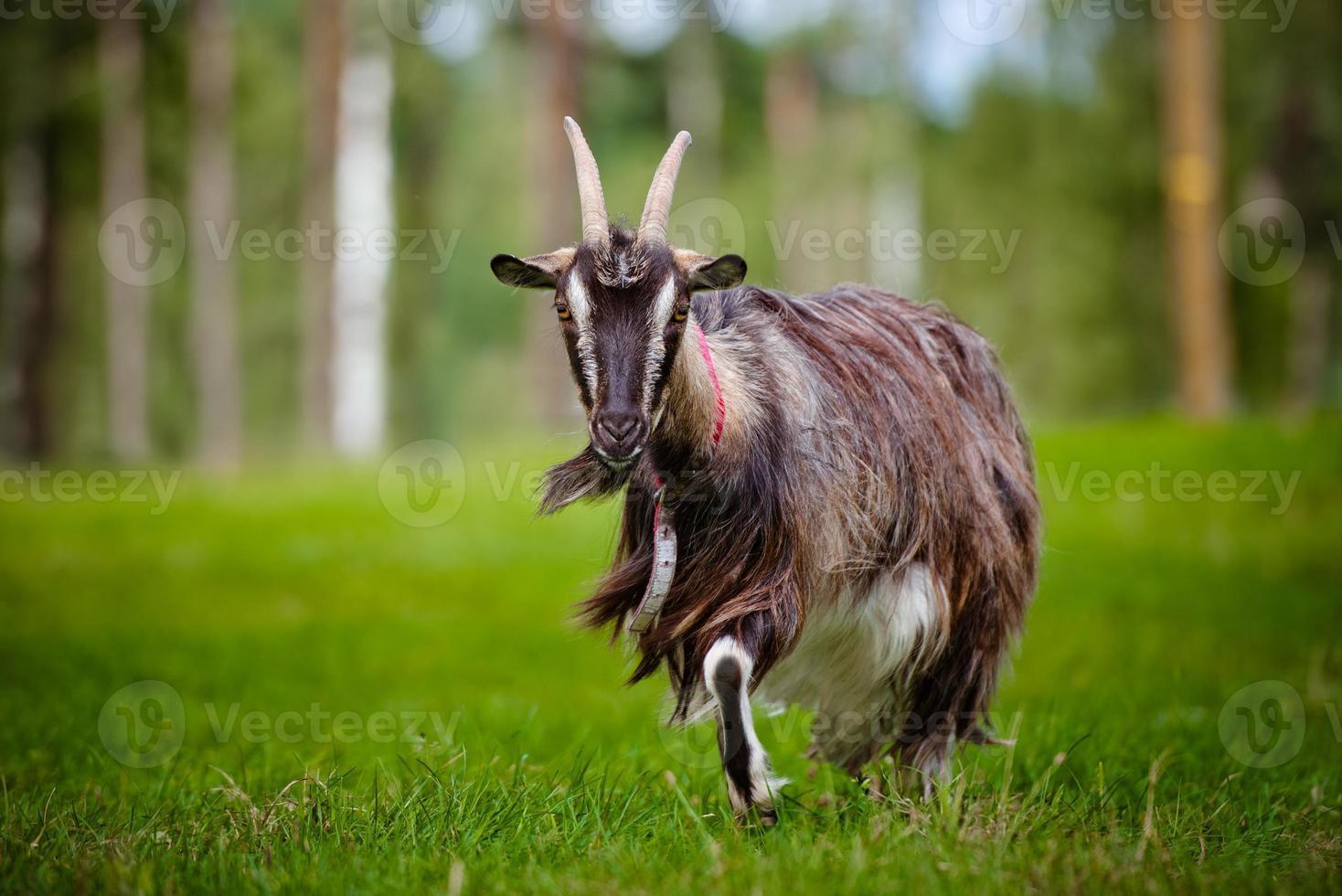 ritratto di capra foto