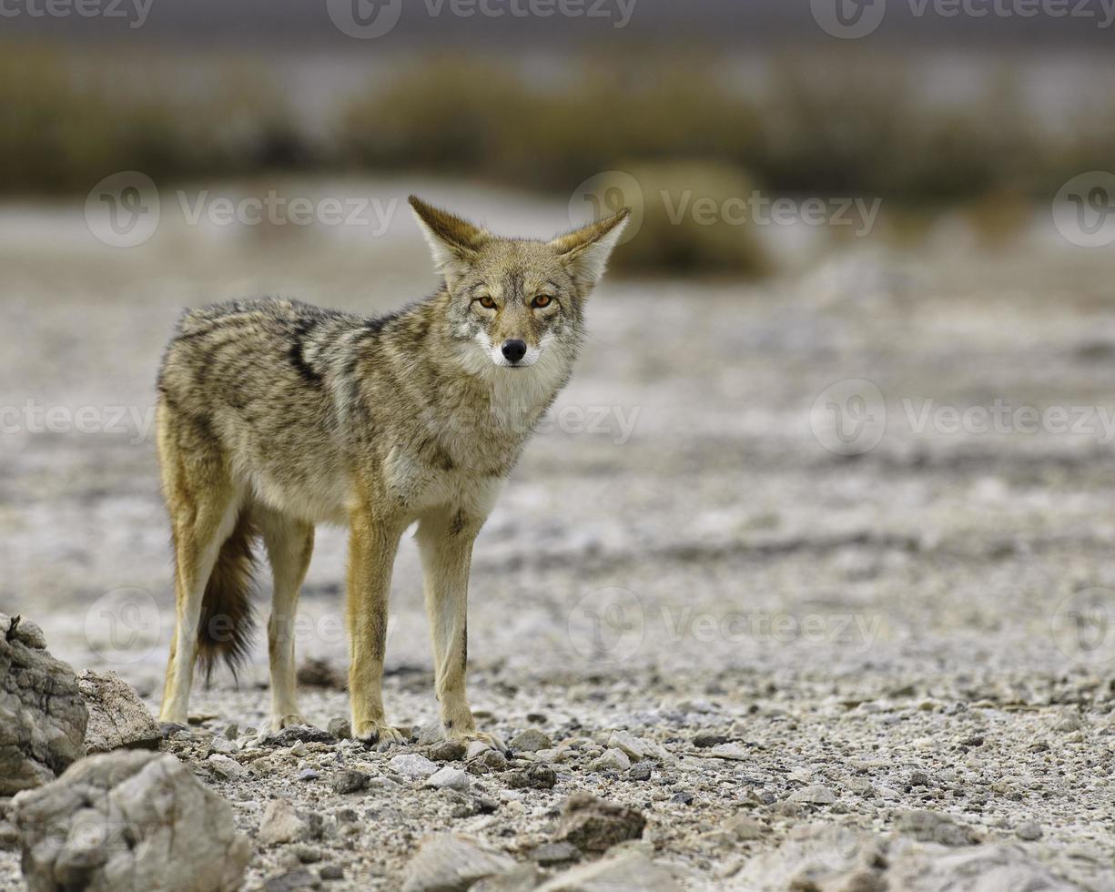 sguardo del coyote della Death Valley foto