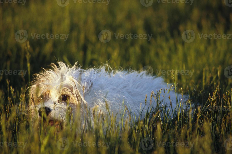 cappotto ruvido jack russel terrier foto