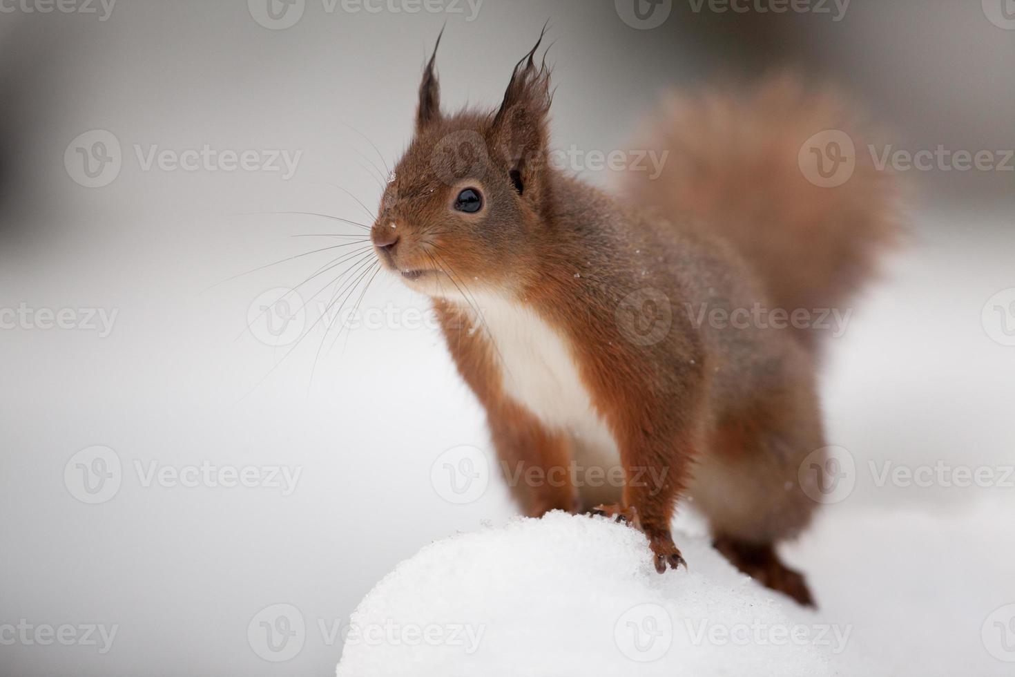 scoiattolo rosso (sciurus vulgaris) foto